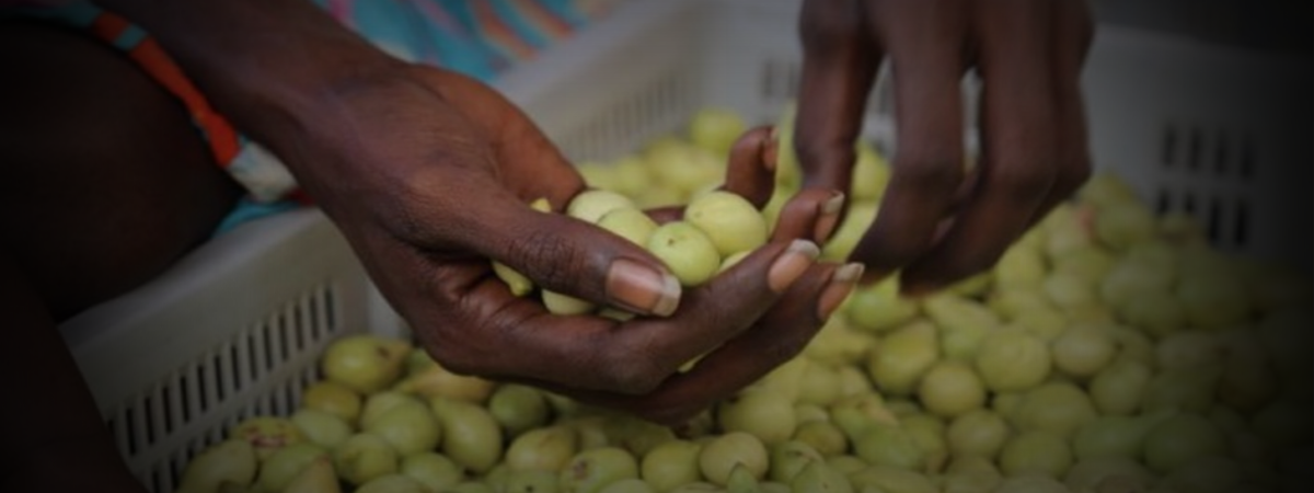 Kindred Spirits Foundation - The Kakadu Plum